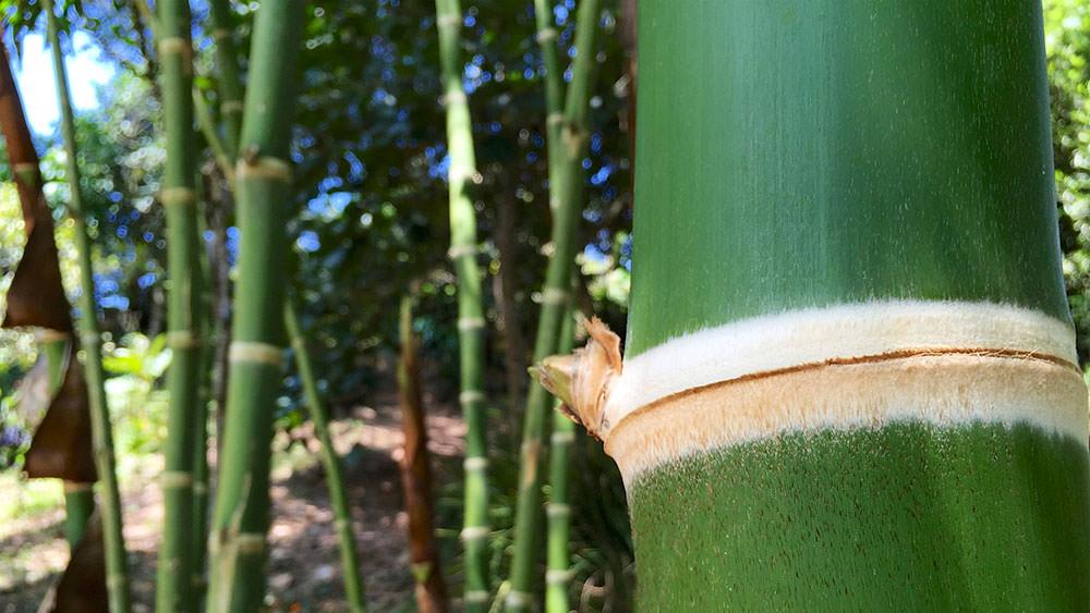 sembrar guadua bambu